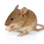 עכבר הבית